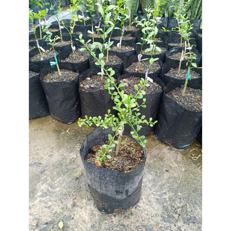 ต้นมะนาวคาเวียร์ (มะนาวนิ้ว)