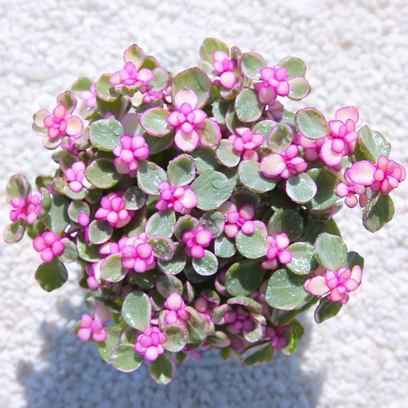 >Jinzhiyuye ไม้ดอกอวบน้ำพร้อมกระถางในร่มเนื้อดี ไม้กระถางเล็ก เยลรำ อวบน้ำเก่ากองใหญ่