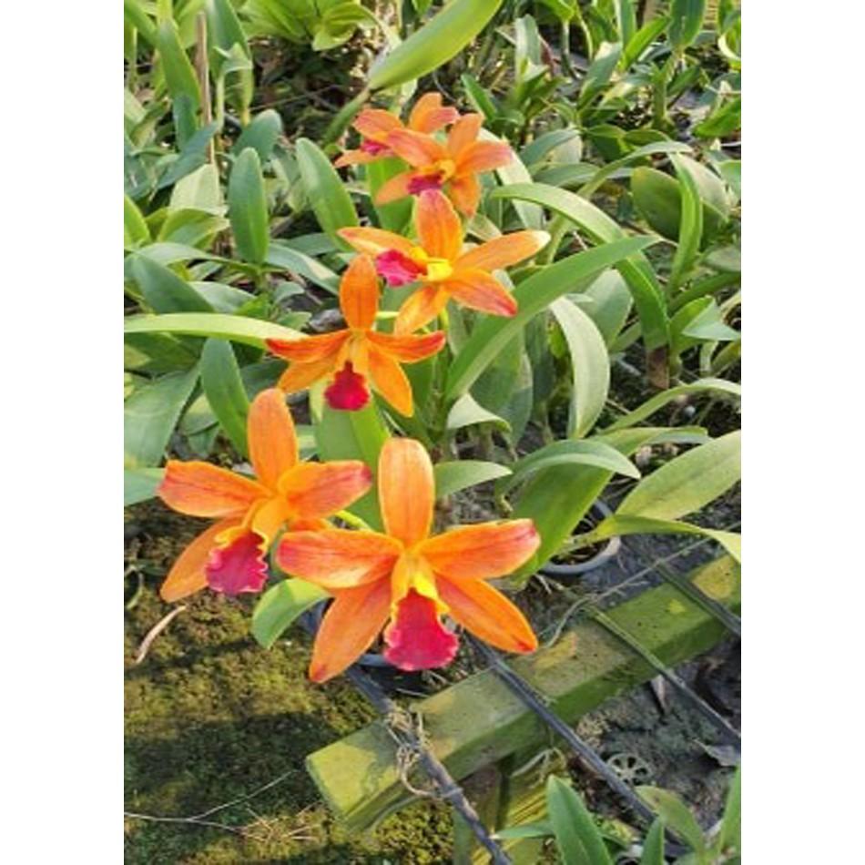 COD∋♧☞กล้วยไม้ แคทลียา Cattleya แคทลียาเนตรศิริ สีส้มปากแดง ดอกเล็ก ไม่มีกลิ่นหอม ขนาดกระถาง3นิ้วครึ่ง ไม่ติดดอก