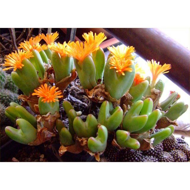พันธุ์ไม้ประดับ เมล็ดกระบองเพชร ไม้อวบน้ำ  Conophytum bilobum (10 seeds)