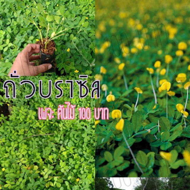 ถั่วบราซิล พืชคลุมดิน