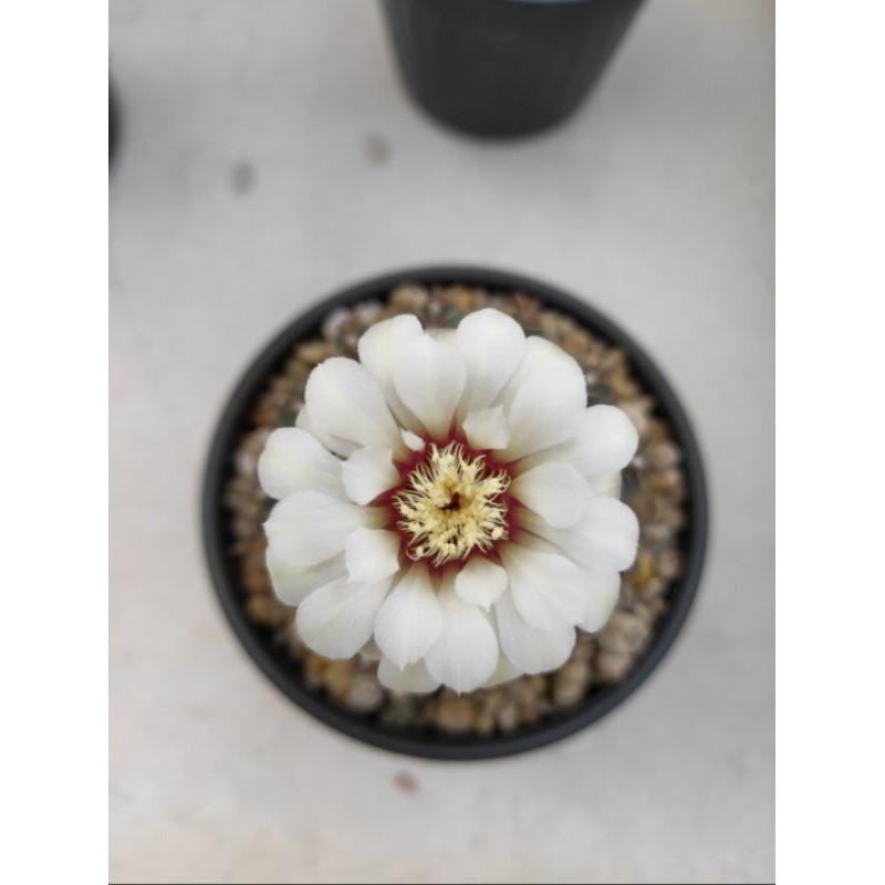 กระบองเพชร แคคตัส (Cactus) ยิมโนออกโซ (Gymnocalycium ochoterenae) Small