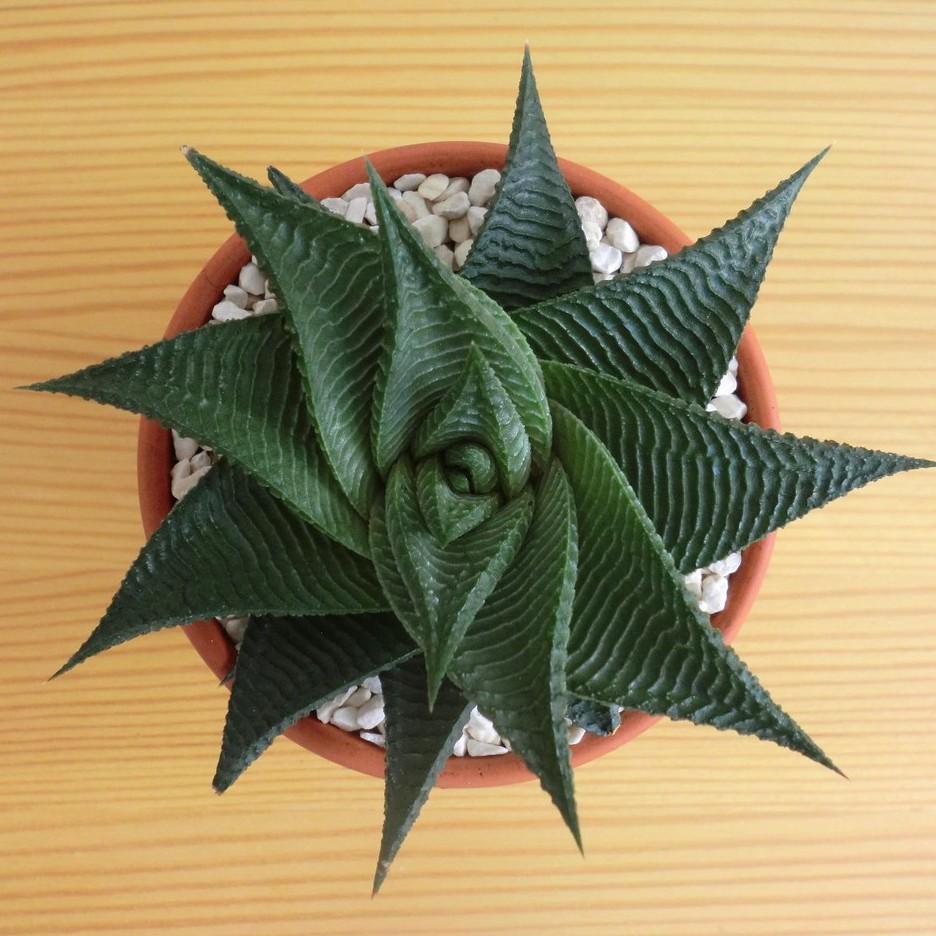 (liuld)Haworthiopsislimifolia (Marloth) G.D.Rowley ไม้อวบน้ำ ว่านหางจรเข้นำโชค  ไม้อวบน้ำ Succulents ไลทอป Lithops แคคตั