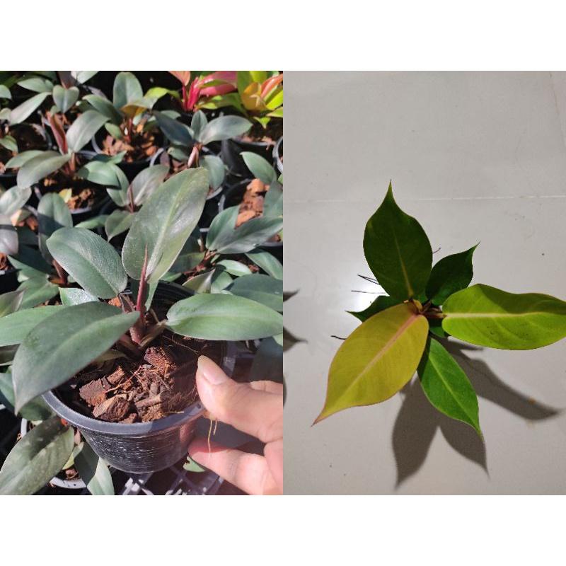 กุมารแดงเรียกทรัพย์ กุมารดำเรียกทรัพย์  ต้นไม้มงคล ส่งพร้อมกระถาง6-8