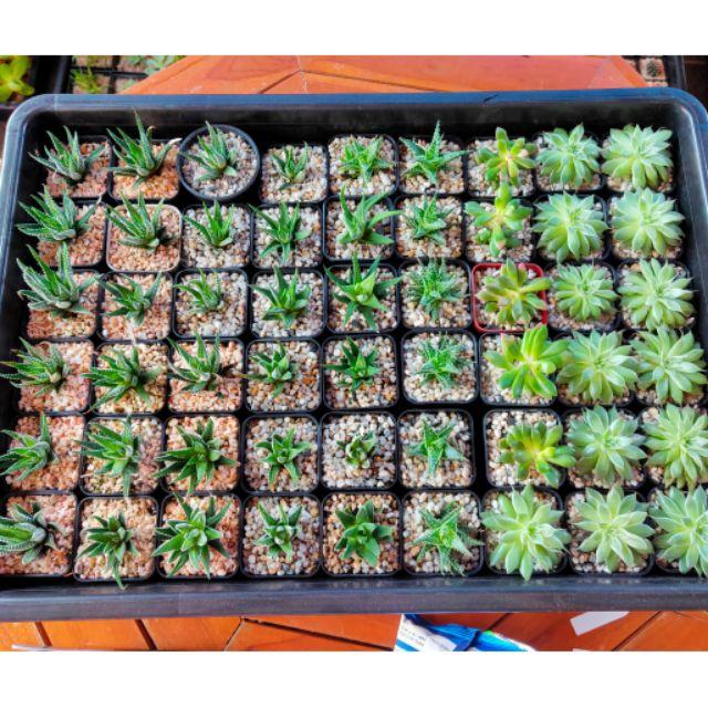 ไม้อวบน้ำ กุหลาบหิน Mix Succulent