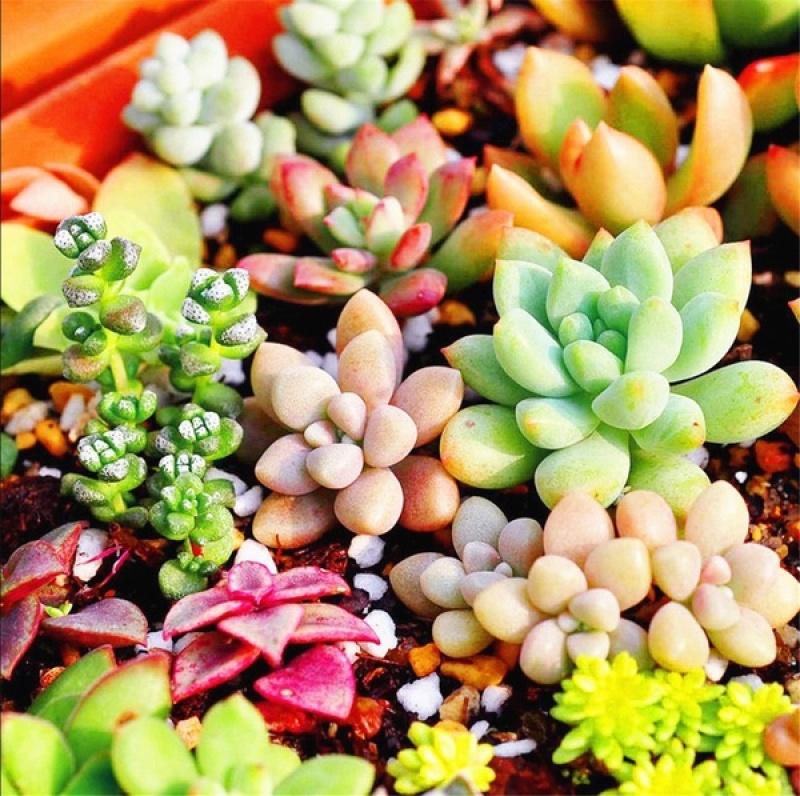 ไม้อวบน้ำ Succulent Seeds พันธุ์ไม้หายาก ต้นไม้ฟอกอากาศ ต้นไม้มงคล ต้นไม้บอลสี ดอกไม้จริง เมล็ดพันธุ์ บรรจุ 50 เมล็ด