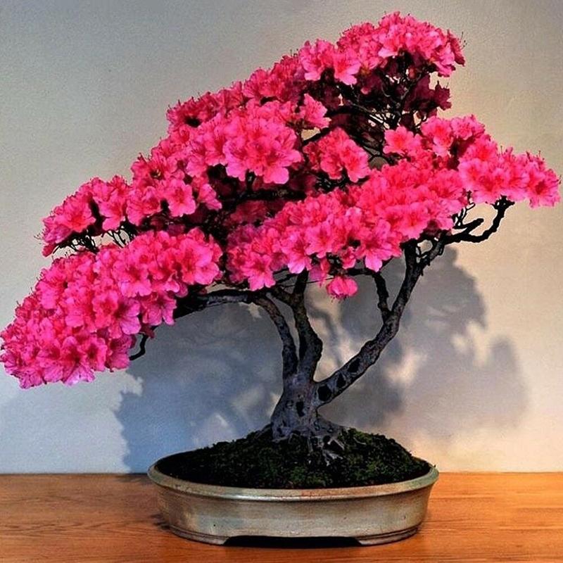 10 20 30 Pcs Japanese Sakura Seeds Bonsai Flower Seeds Home Garden Balcony Plants Rare Tree Plants Shopee Thailand
