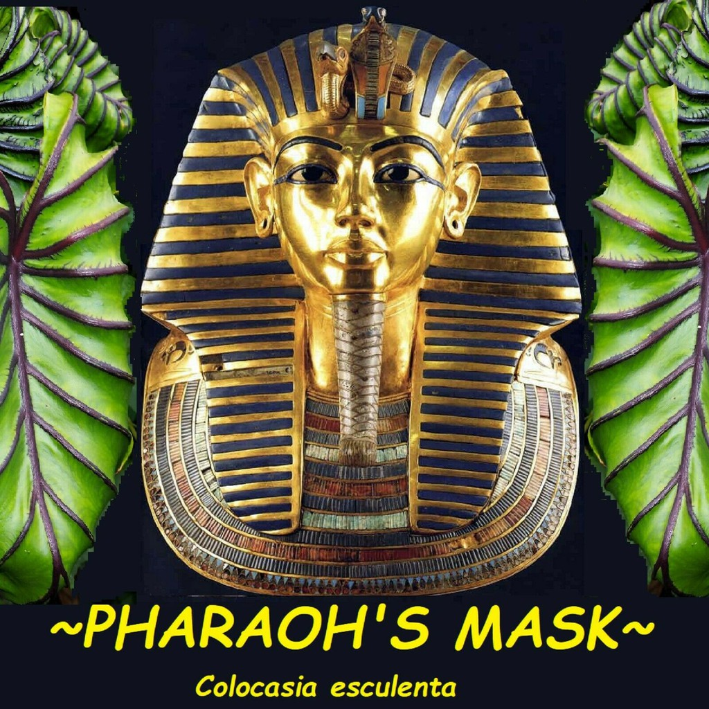 Colocasia Pharaoh's Mask บอนหน้ากากฟาโรห์