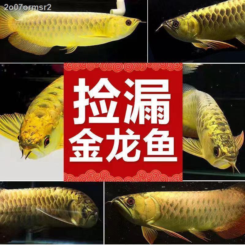 ปลามังกรแดง ปลามังกรทอง ปลามังกรสด ต้นกล้า ปลาเขตร้อน ปลาสวยงาม พื้นหลังสีน้ำเงิน 24K หลังสูง หลังมังกรทอง พริกไทยแดง มั