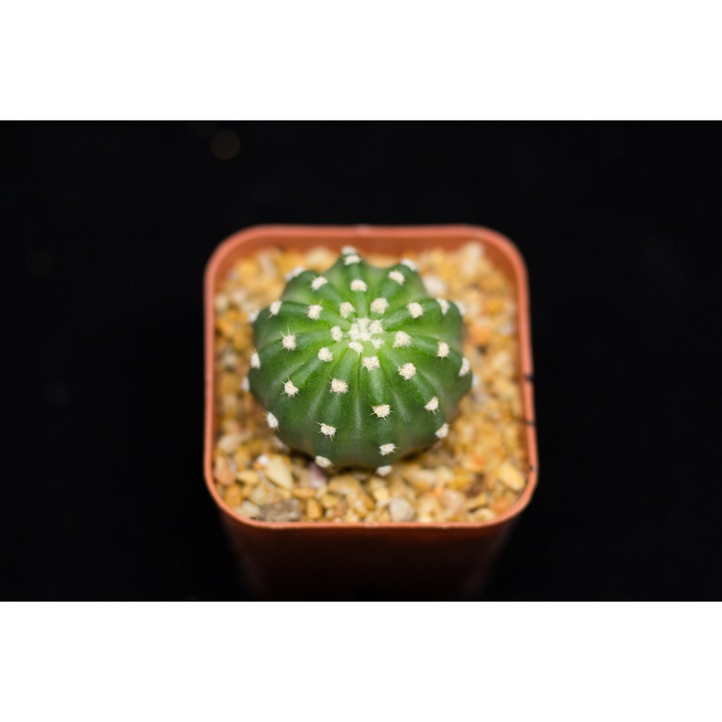 Echinopsis กระบองเพชร ไม้อวบน้ำ cactus