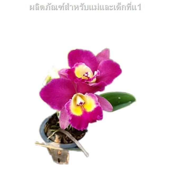 2021 สินค้าขายดีราคาถูกมาซื้อ 🎉 ✳กล้วยไม้ แคทลียา Cattleya แคทลียาแคทแคระญี่ปุ่น สีม่วงออกบานเย็น ดอกขนาดกลาง มีกลิ่นหอ