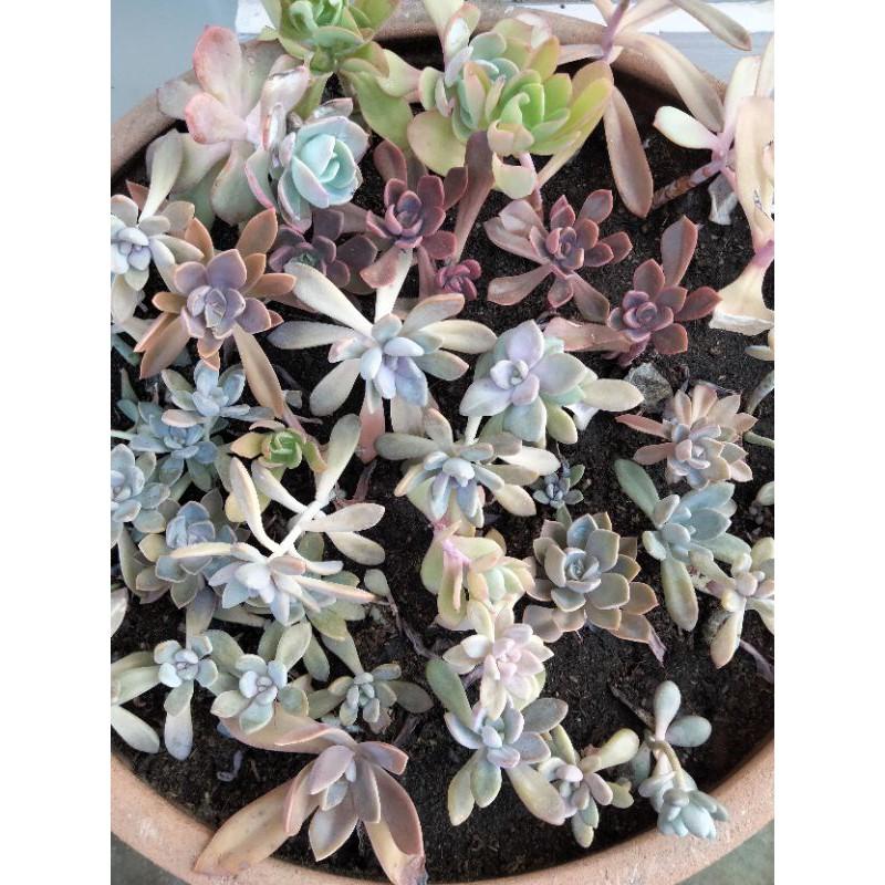 หน่อ วางใบ ใบอวบน้ำ ไม้อวบน้ำ ใบกุหลาบหิน ใบsucculent