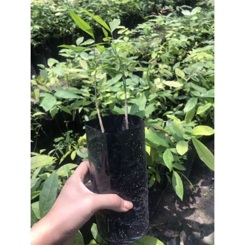ผักหวานป่าเพาะพันธุ์เมล็ด