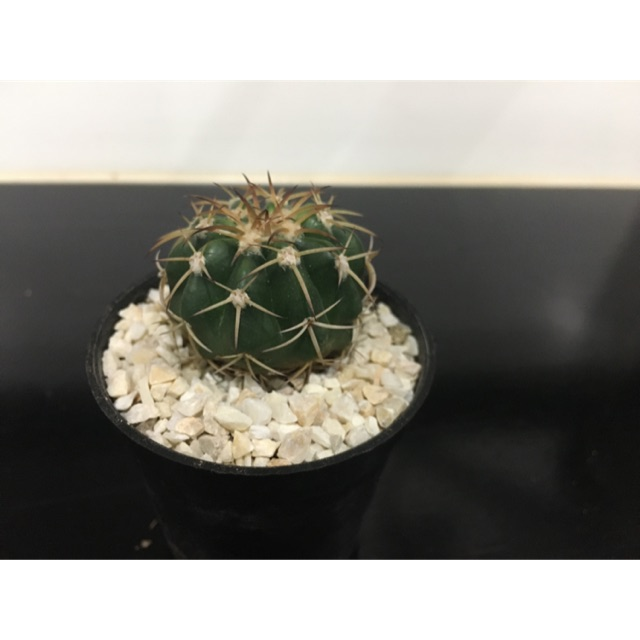 กระบองเพชร แคคตัส cactus ดิสโก้แคคตัส disco