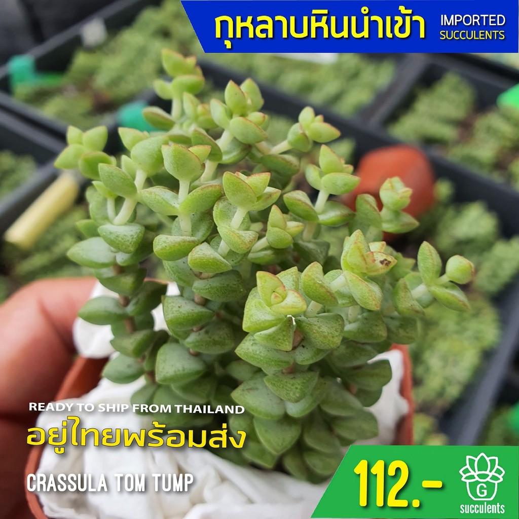 (ไม่มีราก) สินค้าใหม่ พึ่งนำเข้า Crassula Tom Tump G succulents กุหลาบหินนำเข้า ไม้อวบน้ำ