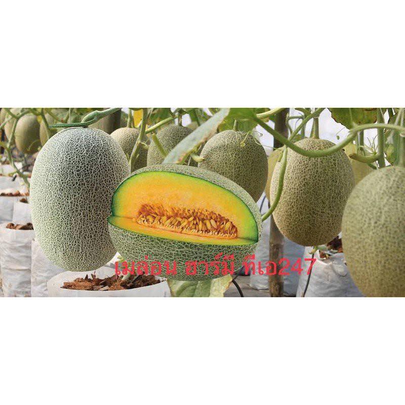 ขายส่งเมล็ด เมล่อน ฮาร์มี ทีเอ บรรจุ 4 เมล็ด ความหวาน 14-15 บริกซ์ น้ำหนักผล 1.7-2.5 ก.ก. CRo3