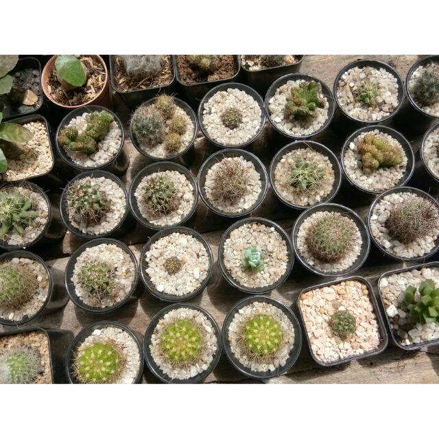 (08/06/63) กระบองเพชร แคคตัส(Cactus)  ไม้อวบน้ำ