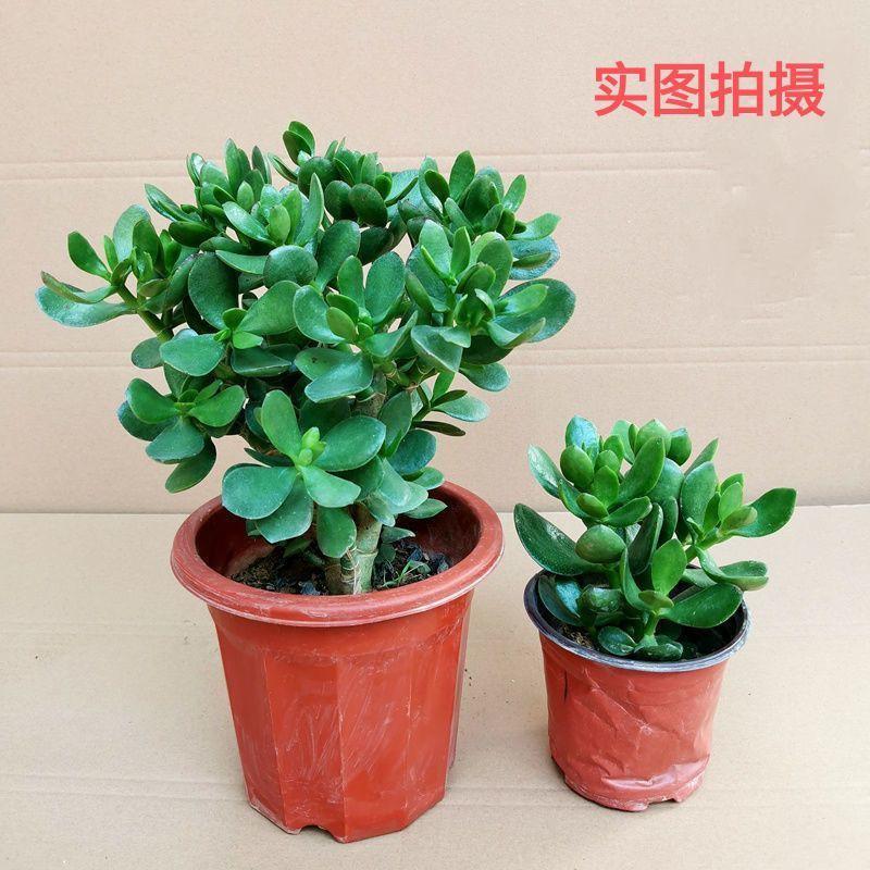 ▧☜Yushu ใบใหญ่ กองเก่าแก่ต้นกล้าไม้อวบน้ำอวบน้ำผิวหนาอินทผาลัมในร่มโชคดีสี่ฤดูปลูกพืชและดอกไม้สีเขียว
