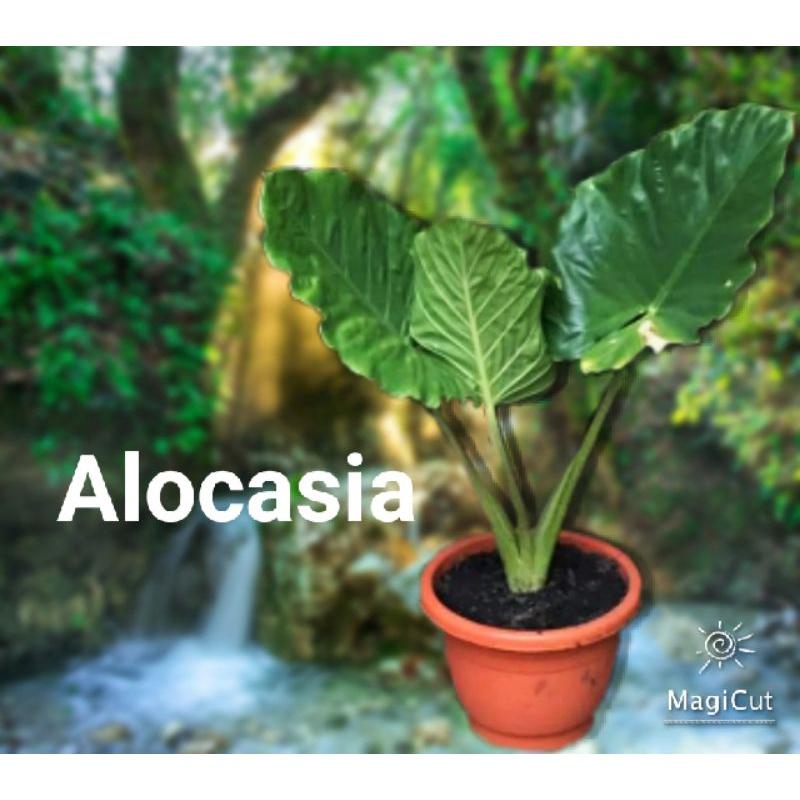 บอนหูช้างก้านลาย หูช้างเขียว Alocasia