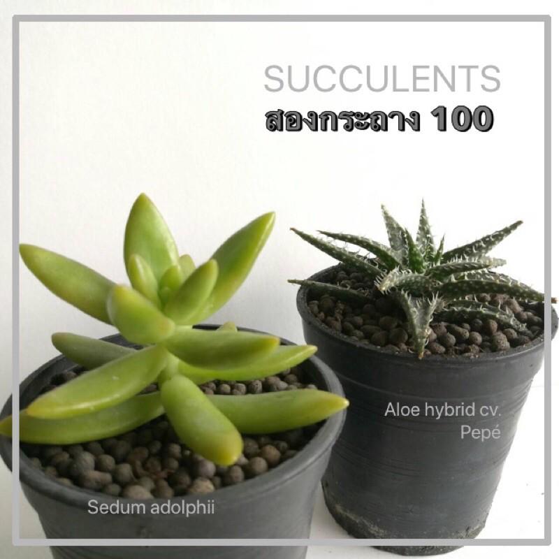 กุหลาบหิน ไม้อวบน้ำ succulent จัดชุด