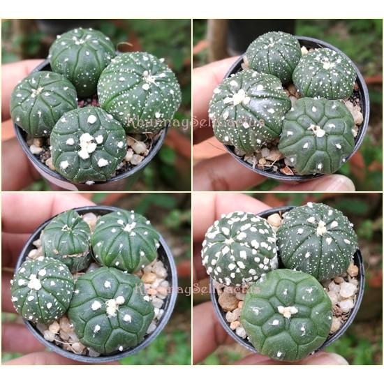 พิเศษ!!! สวย แคคตัส ไร้หนาม แอสโตร Astrophytum kikko กิ๊กโกะเต่า นูดัม กระบองเพชร Cactus