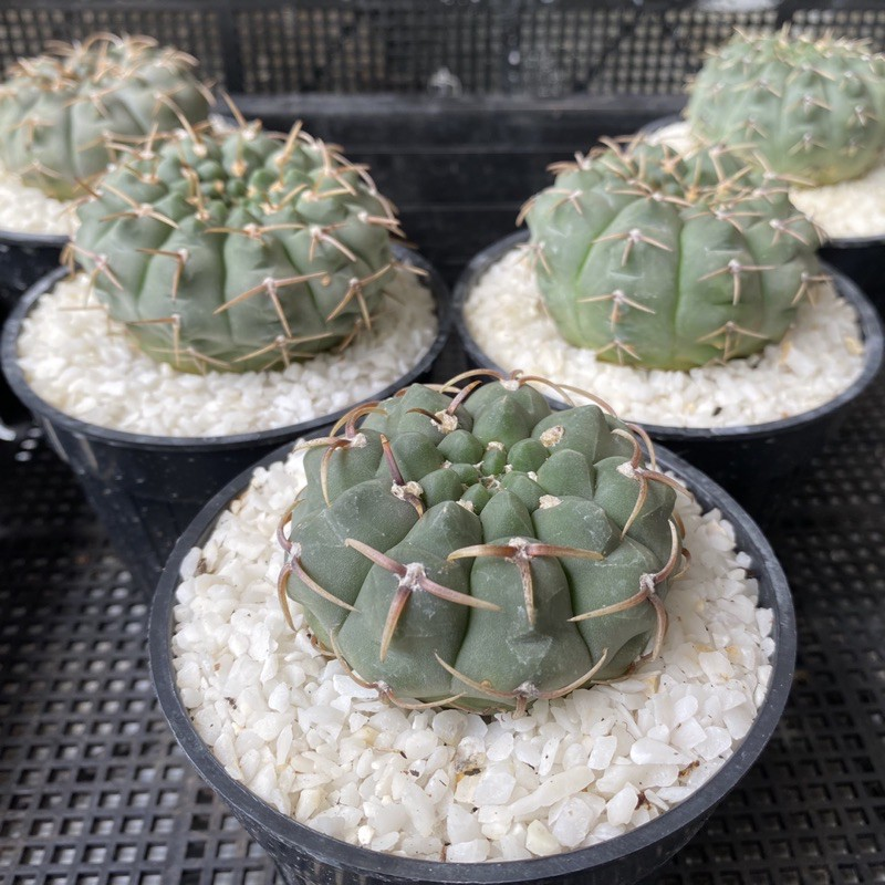 ยิมโน ออกโซ Gymnocalycium Ochoterenae แคคตัส กระบองเพชร cactus&succulent