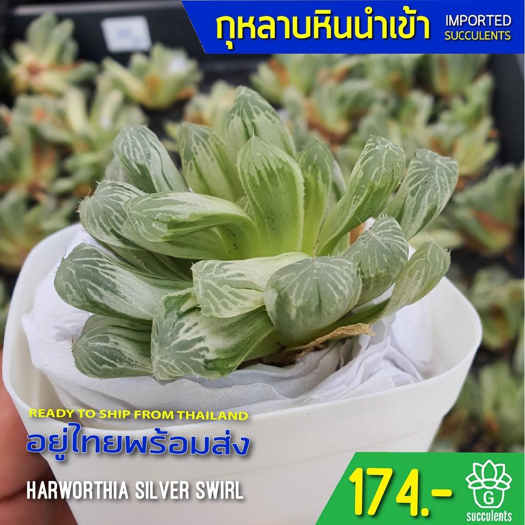 (ไม่มีราก) สินค้าใหม่ พึ่งนำเข้า Haworthia Silver Swirl G succulents กุหลาบหินนำเข้า ไม้อวบน้ำ