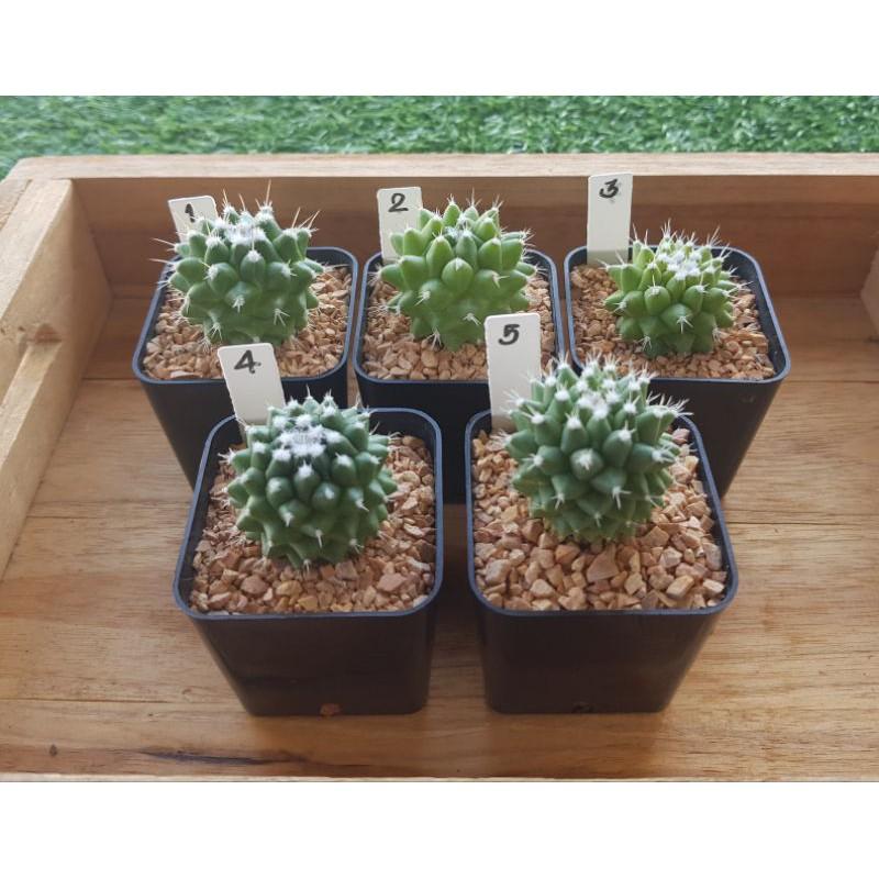 """แมมปุยหิมะ """"อิรุซามุ""""☃️❄🌵 Mammillaria bucareliensis """"Erusamu"""" แคคตัส Cactus"""
