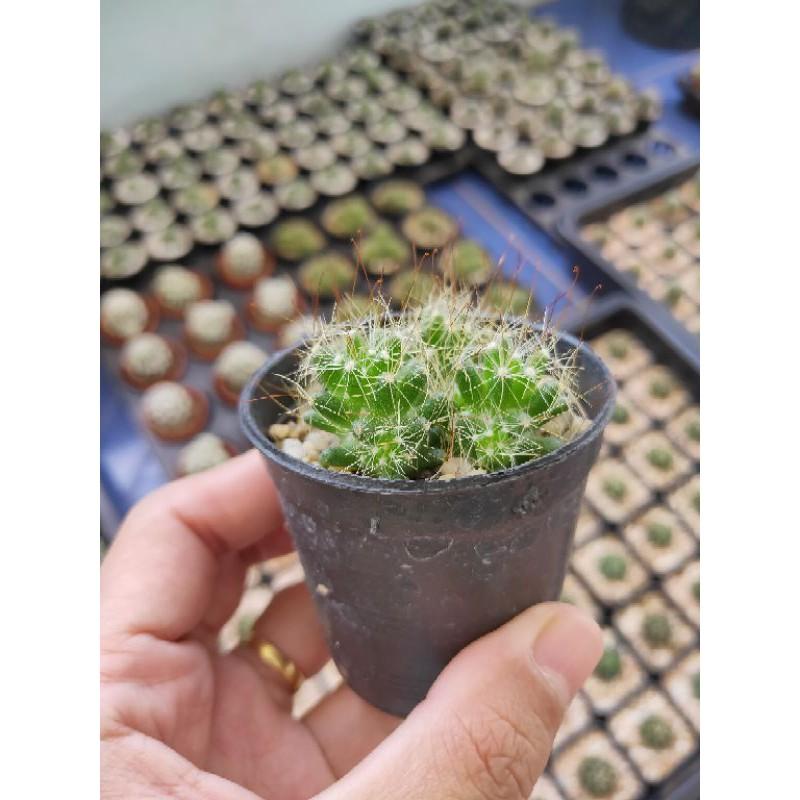 แมมรังนก Cactus 🌵 Mammillaria Decipiens