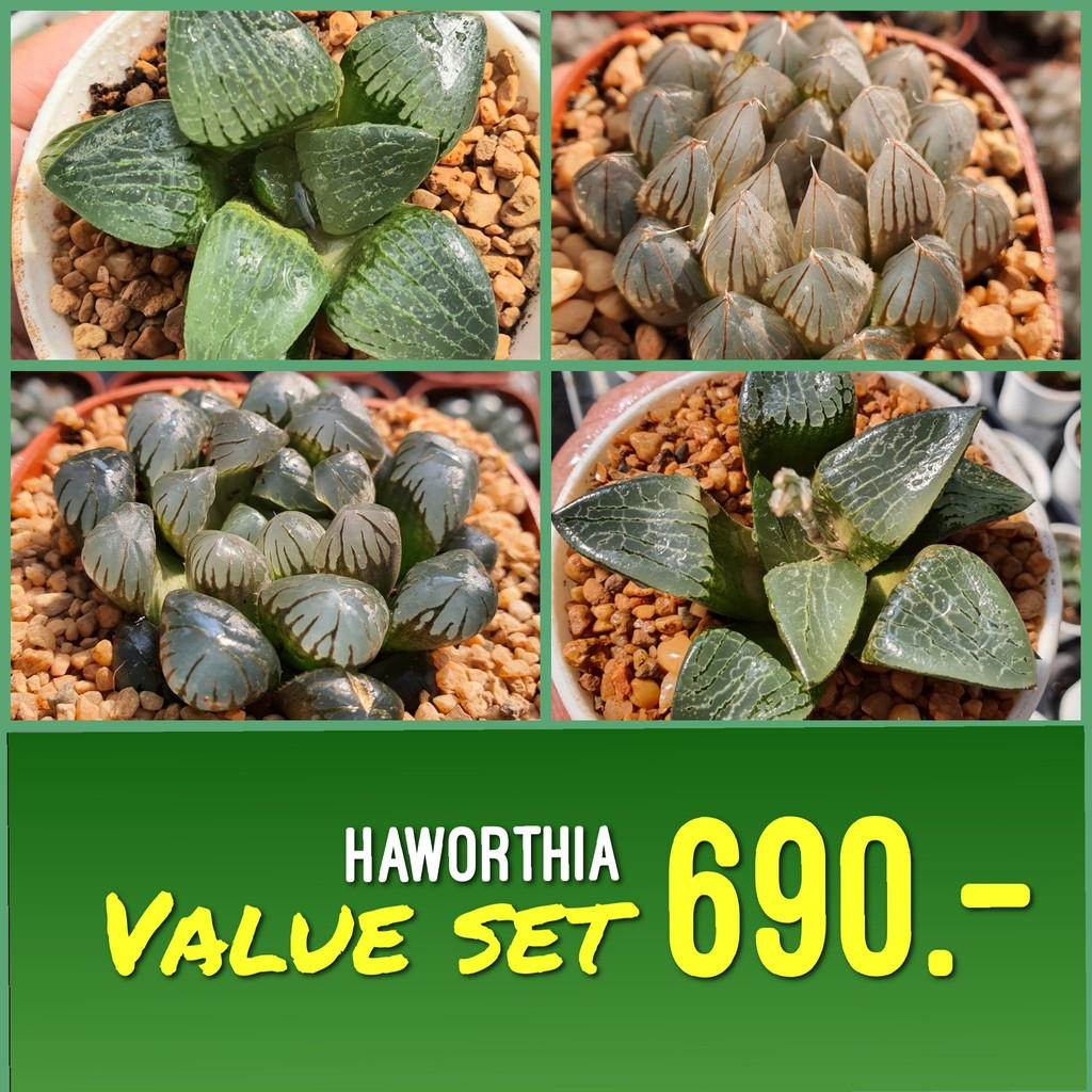 Haworthia Value Set G Succulents กุหลาบหินนำเข้า ไม้อวบน้ำ
