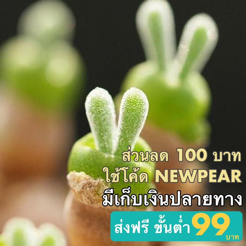 เมล็ดต้นหูกระต่าย (พืชอวบน้ำ) 20 เมล็ด พร้อมส่ง