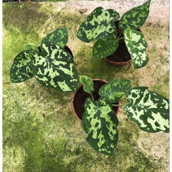 บอนเสือพราน  บอนลายพราน บอนสี ส่งพร้อมกระถาง : Colocasia 'Hilo Beauty