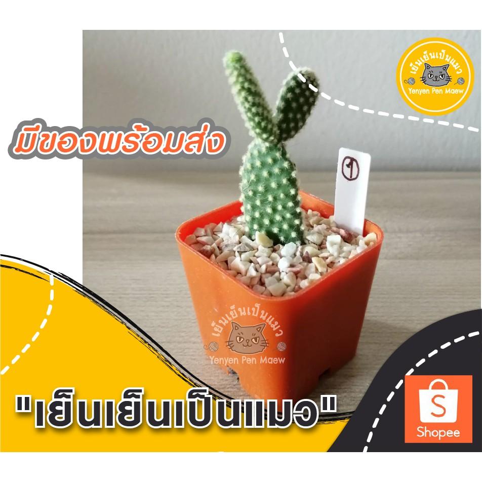 🌵หูกระต่าย หนามเหลือง 🌵กระบองเพชร แคคตัส ไม้อวบน้ำ cactus กระถาง 2 นิ้ว ส่งทั้งกระถาง