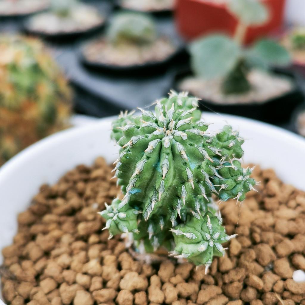 ไม้อวบน้ำ ยูโฟเบีย, Euphorbia sepulta (แนะนำครับ น่าสะสม)