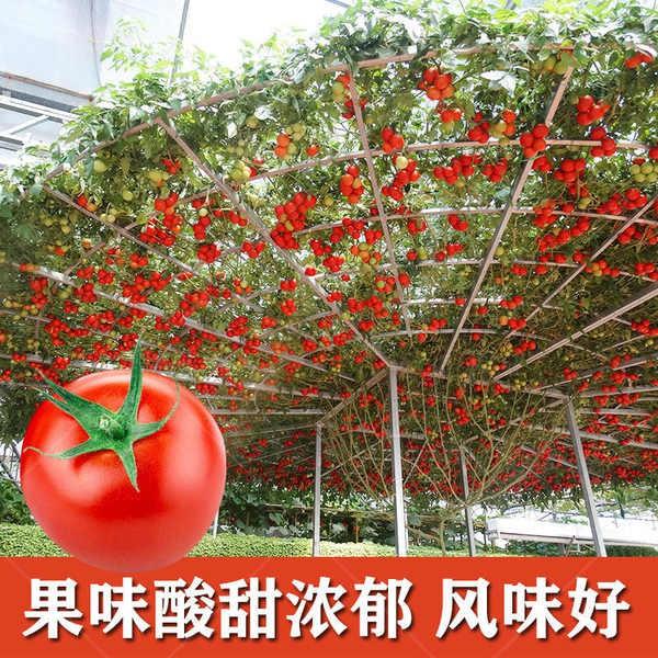 Tomato Tree Seed เมล็ดพันธุ์มะเขือเทศ ระเบียงสวนเมล็ดพันธุ์ไม้กระถาง เมล็ดพันธุ์ผักหวานป่าโฟร์ซีซั่น