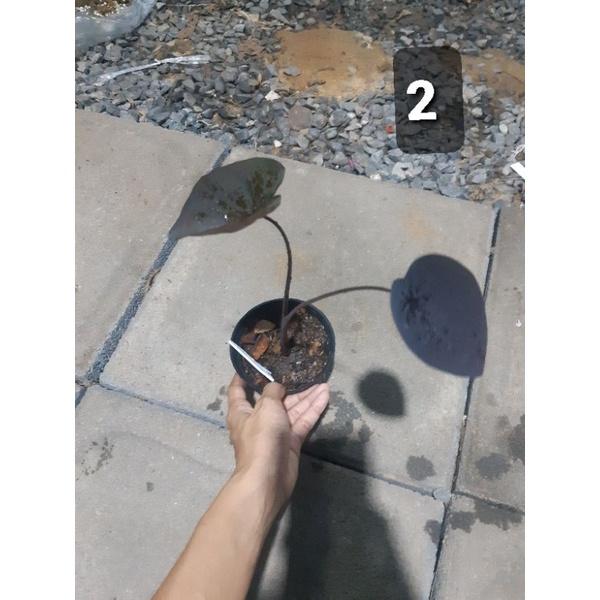 Black ripple colocasia