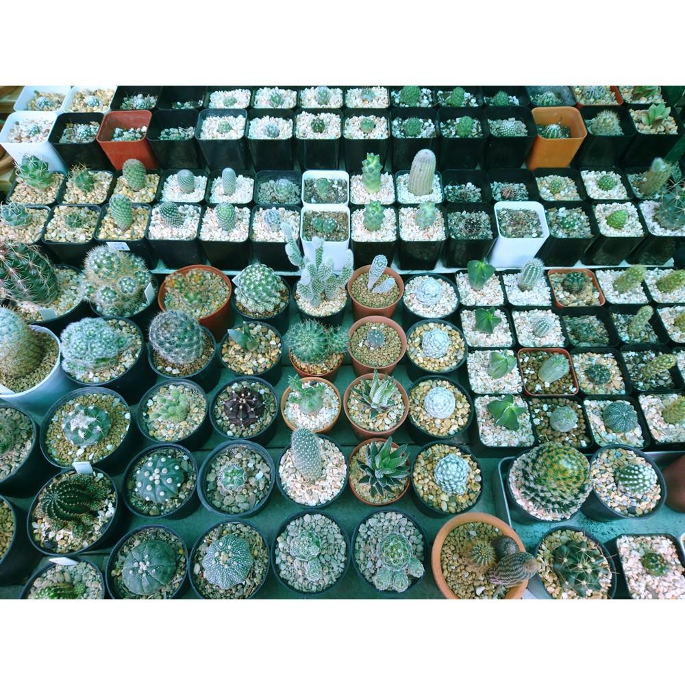 ราคาเริ่มต้นละ 50 บาท 🌵 กระบองเพชร ไม้อวบน้ำ 🌵 cactus & succulents 🌵