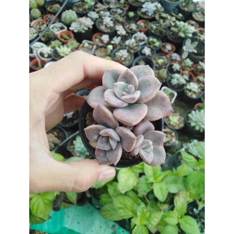 กุหลาบหิน ไม้อวบน้ำ succulent