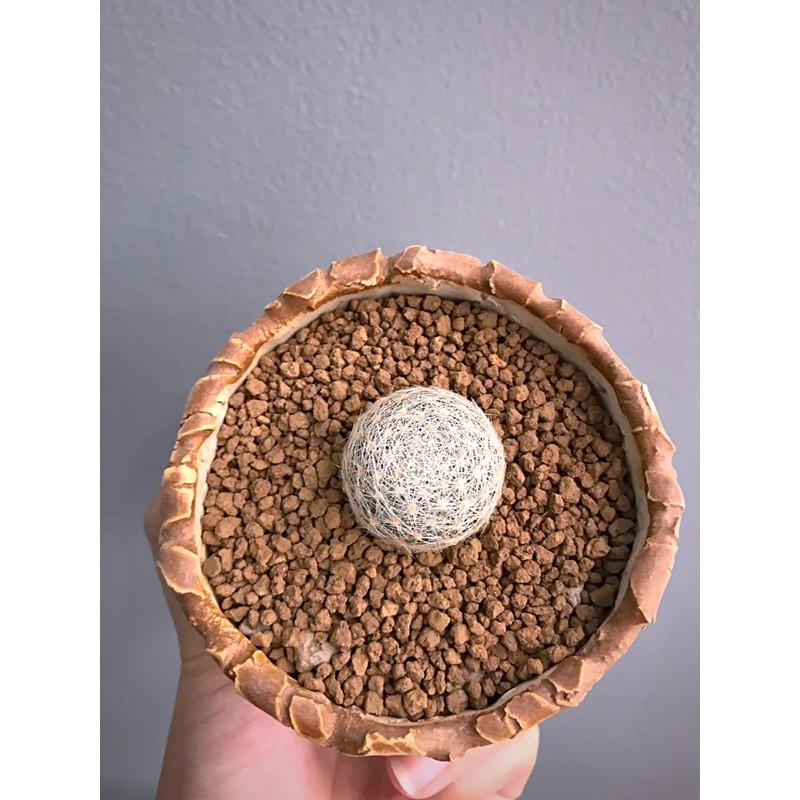 อ่านก่อนสั่ง ❤️ แมมเลนต้า ไม้เมล็ด ขนแน่นๆ mammillaria lenta cactus