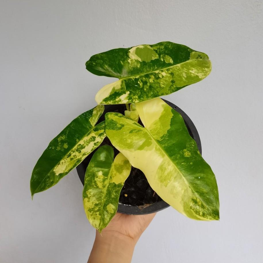 philodendron burle marx variegated ฟิโล ยูนิคอน