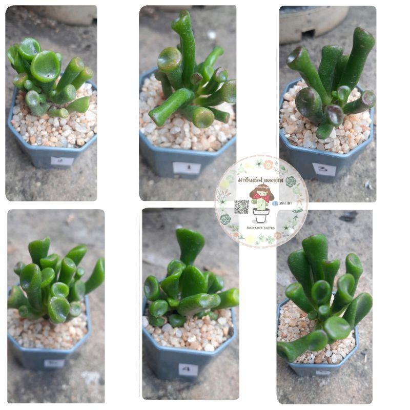 หูเชร็ค ไม้อวบน้ำ กุหลาบหิน succulent