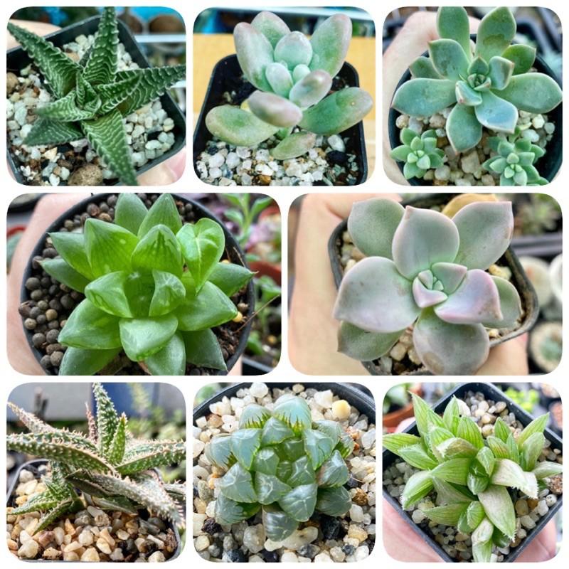 กุหลาบหิน/ไม้อวบน้ำ succulent/haworthia