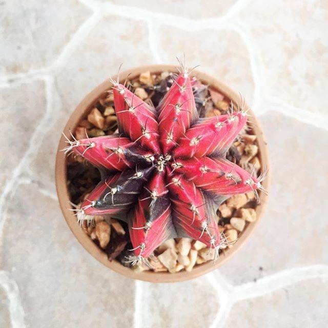 Cactus - gymnocalycium