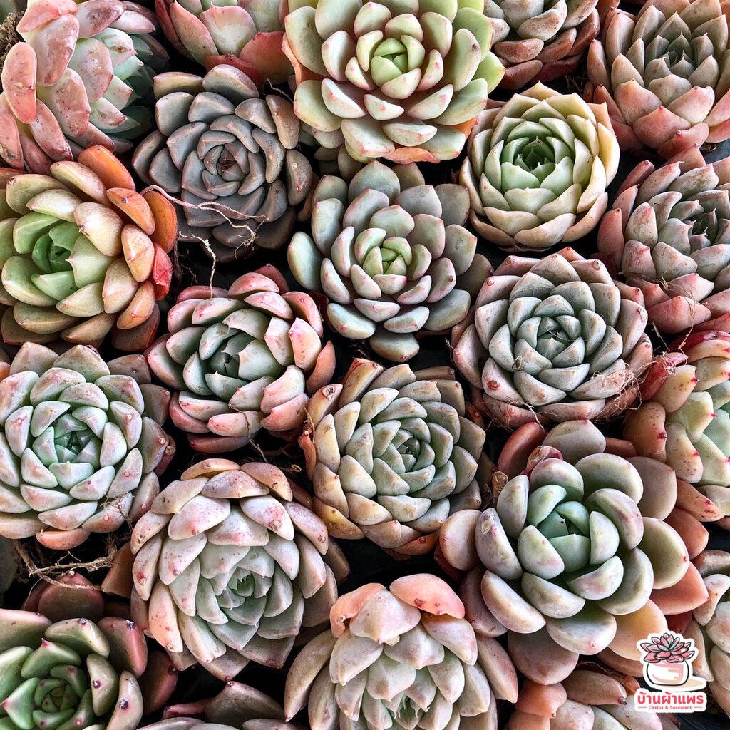 Echeveria Hybrid #1 #ไม้นำเข้า #ส่งแบบBareroot ไม้อวบน้ำ กุหลาบหิน Cactus&Succulent