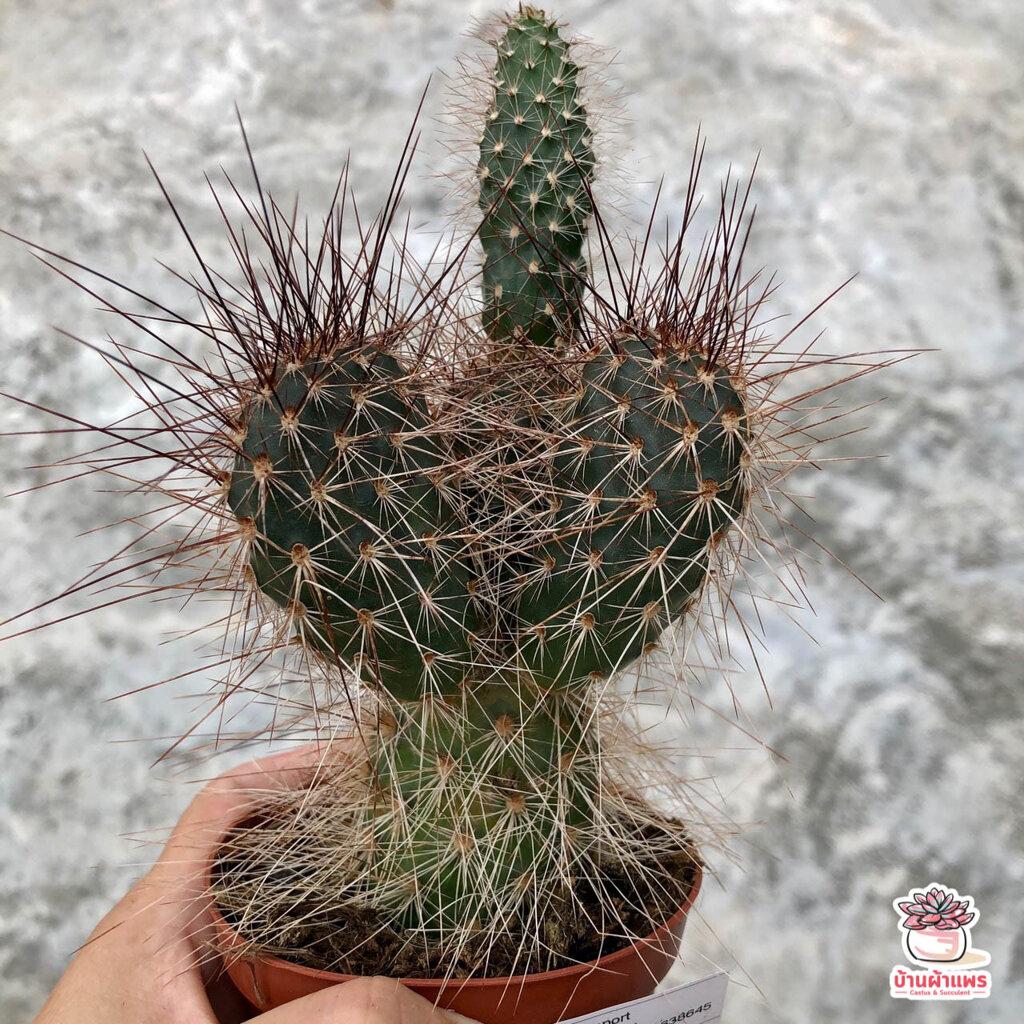 โอพันเทียหนามโหด Opuntia Polyacantha ไม้อวบน้ำ กุหลาบหิน cactus&succulent