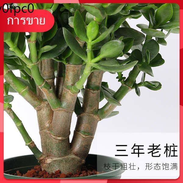 กุหลาบหิน เมล็ด Succulents ☟ยูคาลิปตัสกระถางในร่มไม้อวบน้ำขนาดใหญ่กองเก่าแก่ขนาดใหญ่ออกดอกต้นกล้าพันธุ์หายากขนาดใหญ่เลี้