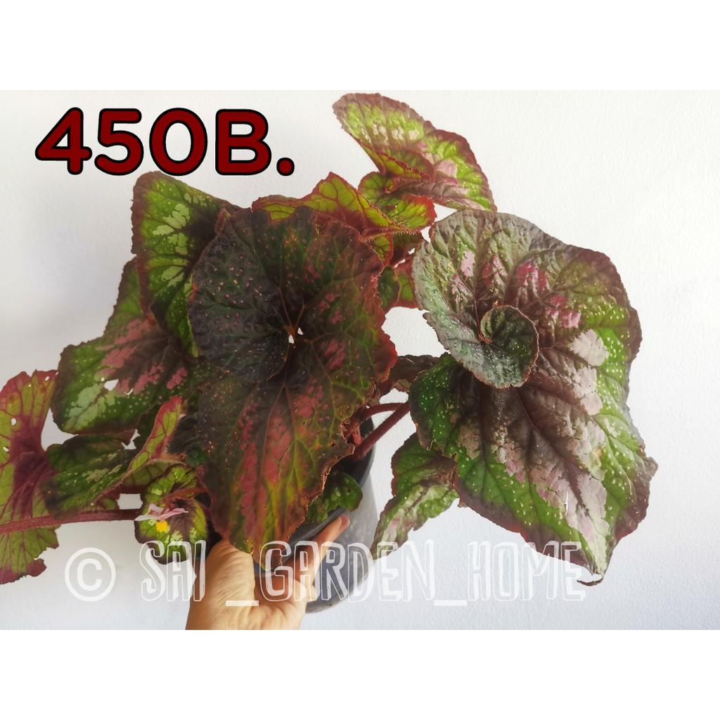 บิโกเนีย Begonia  ไม้อวบน้ำ ราชาไม้ใบ