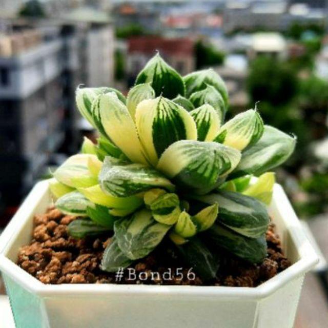Haworthia Obtusa Hybrid Variegated