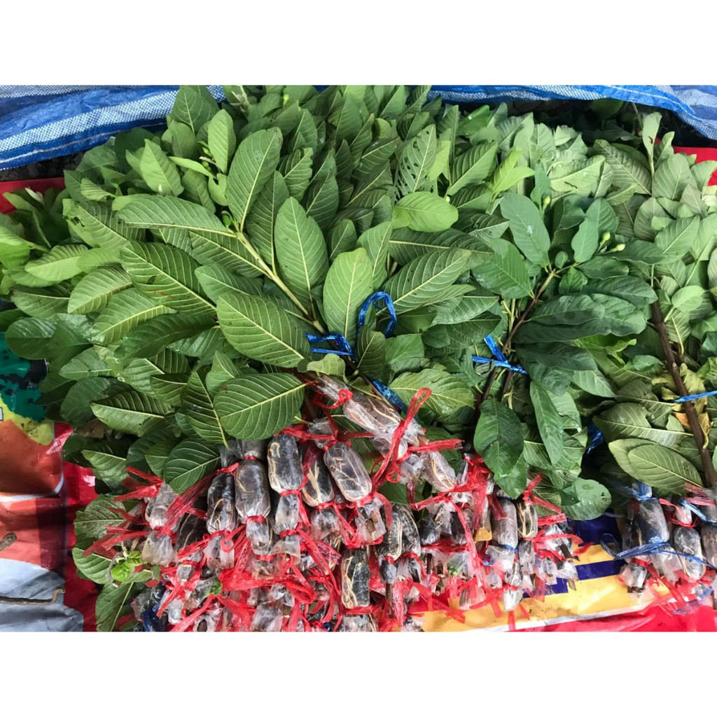 กิ่งพันธุ์ฝรั่งกิมจู  (ซื้อ10 แถม 1 ) ลูกดก  หวานกรอบ อร่อย อร่อยจนวางไม่ลง