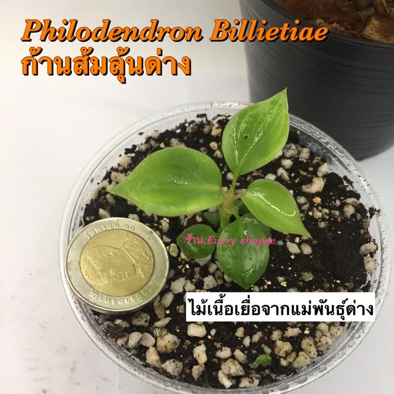 ต้นฟิโลเดนดรอนก้านส้ม ลุ้นด่าง จากแม่พันธุ์ด่าง (Philodendron billietiae) ไม้เนื้อเยื่อ